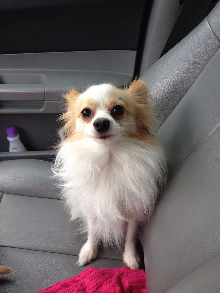 65 Best Images About Boost Your Bathroom On Pinterest: Chiwawa Papillon