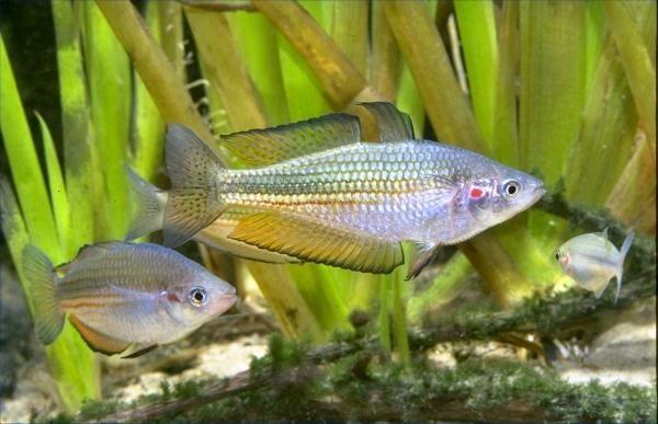 My Favourite Australian Rainbows (fresh water fish)
