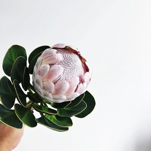 King Protea | Sydney | Florist | Flower Arrangements| MyFlowerMan | Australian | www.myflowerman.com.au  #MyFlowerMan
