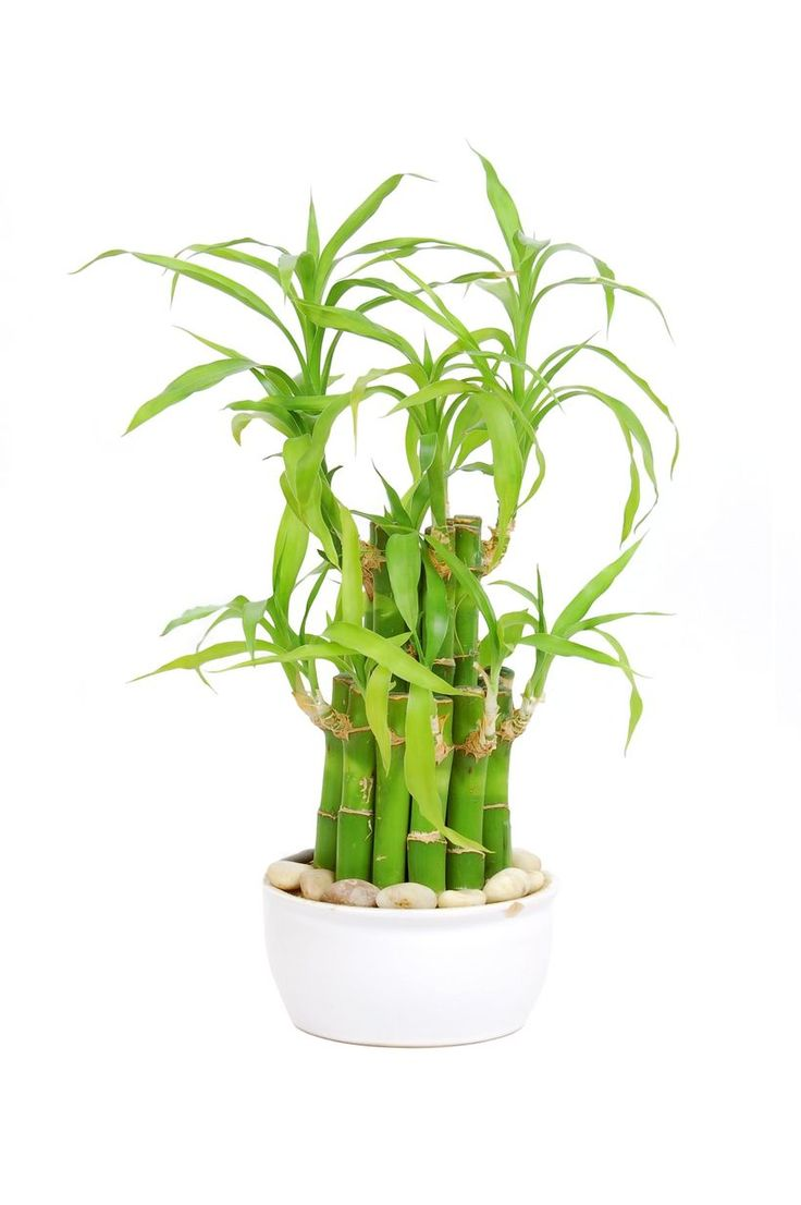 21 Best Lucky Bamboo Plants Images On Pinterest Lucky 400 x 300
