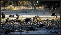 The New World Vulture belongs to the family of Cathartidae comprising seven species in five genera. The family comprises five vultures inhabiting...