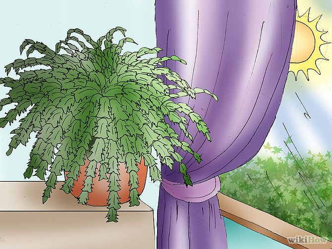 Care for a christmas cactus step 1 version 2 jpg