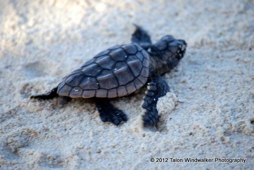 Baby Turtles In Water : Baby sea turtle Desert Tortoise & Water Turtles Pinterest