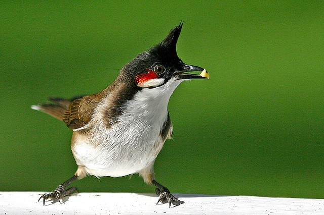 Red whiskered bulbul - Mauritius