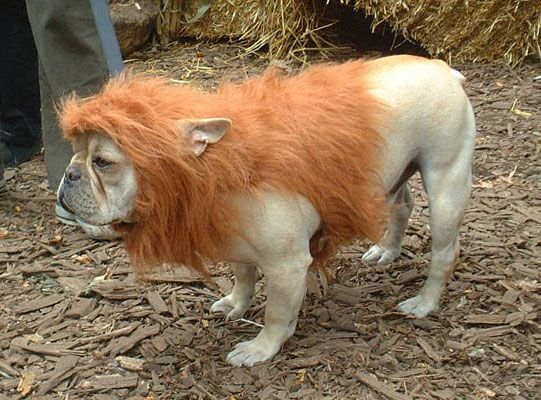 cowardly lion costume for dog...think this is Handles costume for 2013