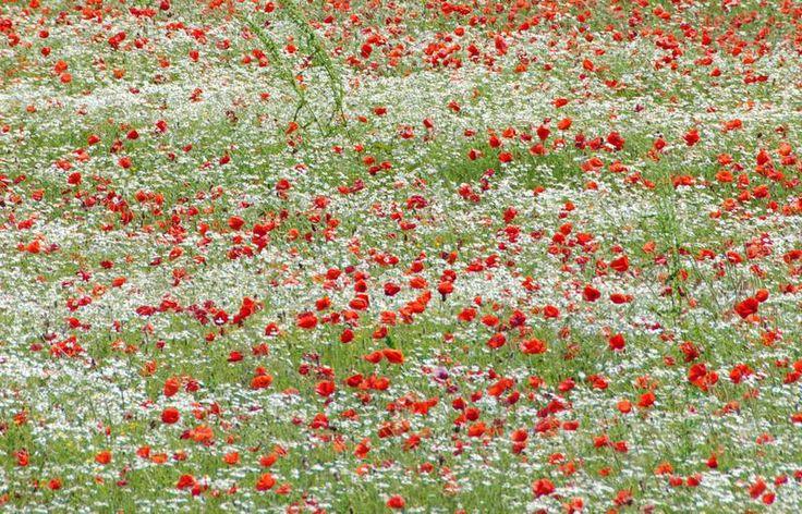 prati-in-fiore-con-margherite e papaveri