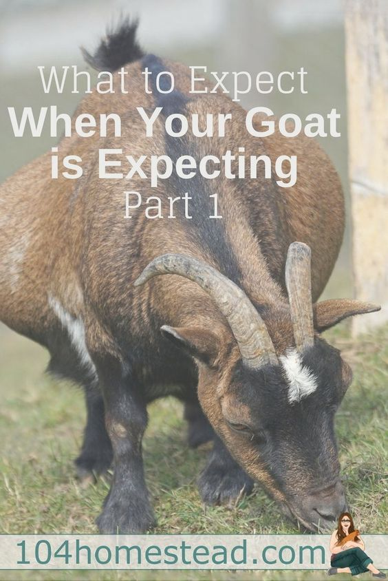 What you are going to be looking for and dealing with throughout the breeding and goat gestation process. Plus, a free Nigerian Dwarf kidding calculator.