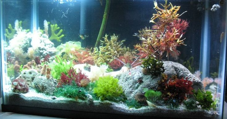"""Macroalgae Care (saltwater tanks) Many """"macros"""" are tough, and can handle temperature and environmental changes better than coral, making it ideal for the beginning aquarist. #SaltwaterAquariumBeginner"""