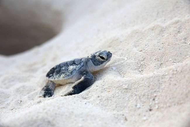 The best way to teach your children about endangered animals is to get hands on! Here are fun sea turtle facts for kids plus a sea turtle craft for kids!