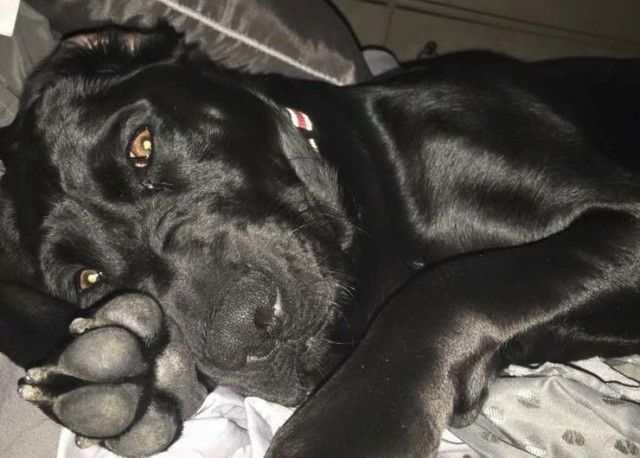Black Boxer Lab Mix