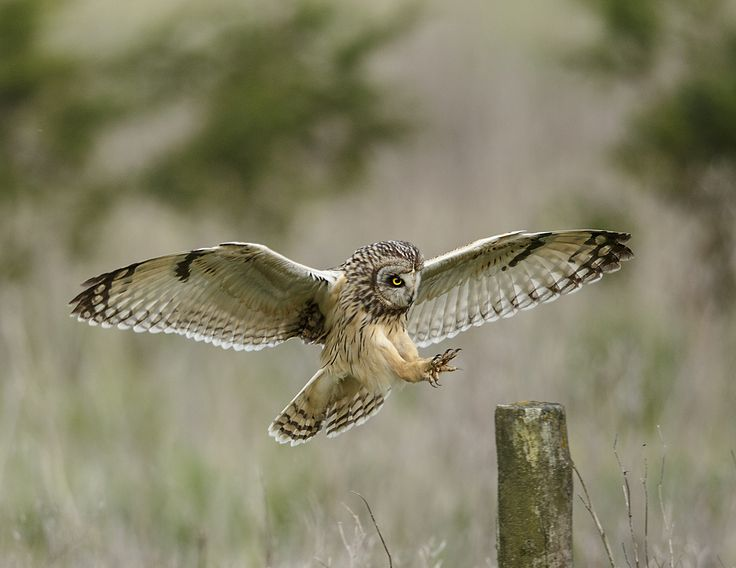 Short eared owl about to land on a post