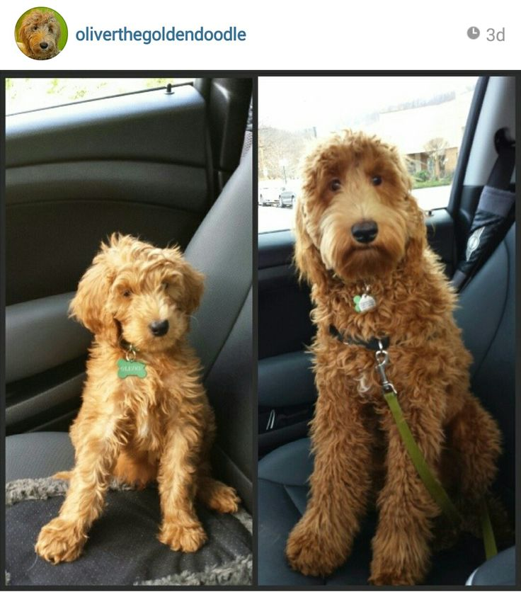 Goldendoodle! WANT. They look like puppies even when they