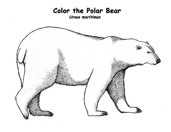 Huge Polar Bear Coloring Page