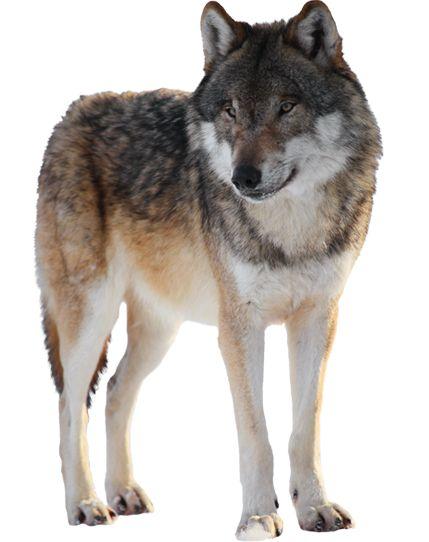 Gray Wolf - standing