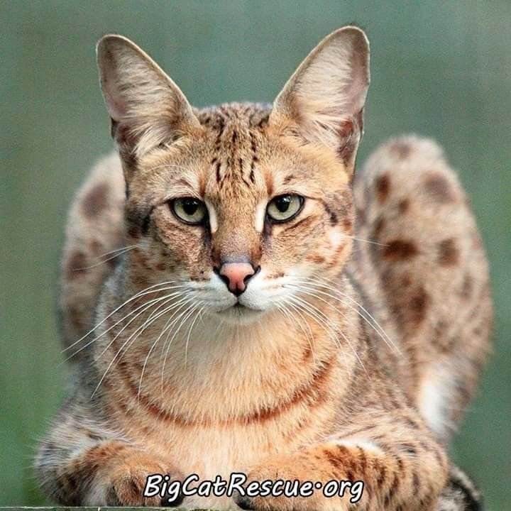 Handsome Diablo Savannah Cat Feb 2020 In 2020 Big Cat Rescue Tampa Savannah Cat Cat Rescue