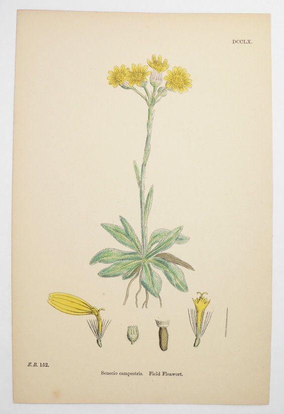 Antique Flower Print, Yellow Wildflower Botanical Art Print 1866 Sowerby  Botanical Print, Flower Garden Gift For Her, Field Fleawort