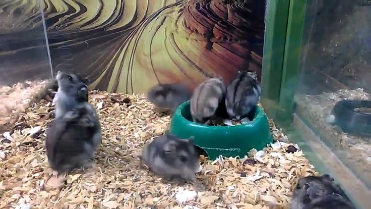 I Think My Hamster is Broken - Funny Hamster Video !