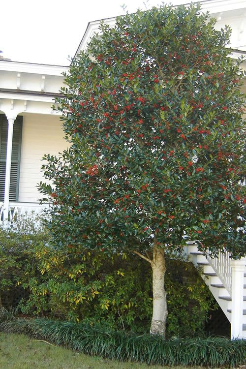 Pruned Holly Tree