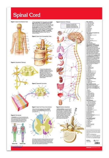 """Spinal Cord (Poster Size) 24"""" x 36"""" Laminated. Top to bottom - we've got it covered. Detailed illustrations of the autonomic system, spinal cord & sympathetic trunk, segmental innervation, spinal cord tracts cross-section, and dermatomes. Locator view for epidural anesthesia injections."""
