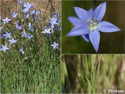 Tufted Bluebell - Wahlenbergia Communis http://www.surfcoast.vic.gov.au/files/8a5f06d6-9c28-49b1-853a-9f3d010494e1/3560avdn.jpg