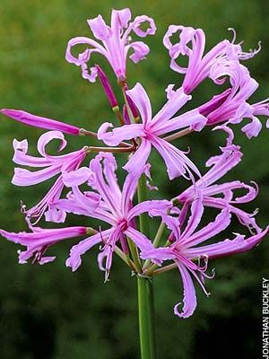 Nerine bowdenii bulbs as wedding favors.    Perennial. Can be planted in late fall/early winter/spring when soil is workable.