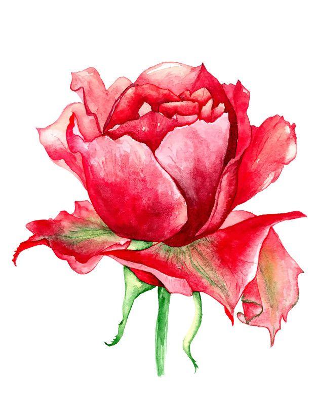 Rosas Rojas Acuarela Png