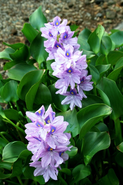 Water Plants > Water Hyacinth