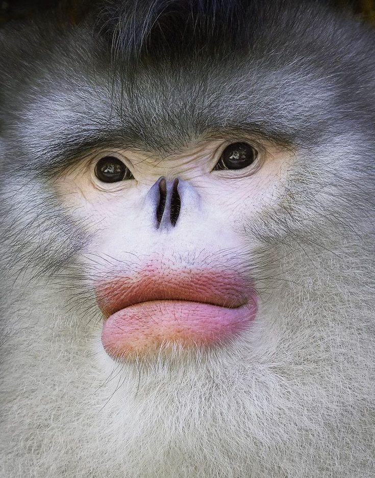 Yunan Snub Nosed Monkey by Tim Flach. #timflach #animalphotography #monkey
