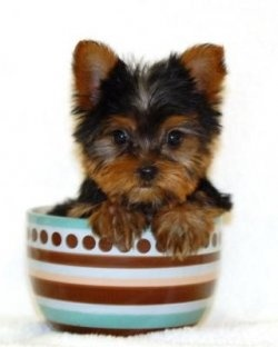 I just love teacup yorkies! I want another!