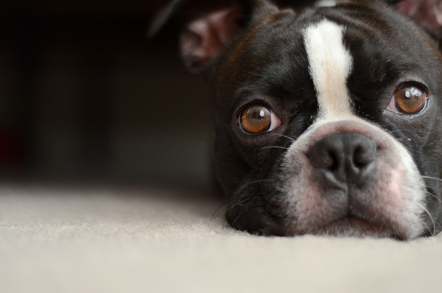 Boston terrier.. <3 Puppy  My Zippo was this cute...