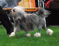 """El Löwchen (Del alemán """"pequeño león"""") es una raza de perro poco frecuente; a día de hoy hay menos de cien registros nuevos cada año de estos ejemplares. En su momento, al igual que el perro de aguas portugués y el bichón habanero tuvo el reconocimiento de """"perro menos frecuente"""" del mundo."""
