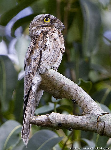 Common Potoo - Nyctibius griseus by Ciro Albano - NE Brazil Birding, via Flickr (Potoos... right up there with Frogmouths for cutest birds.)
