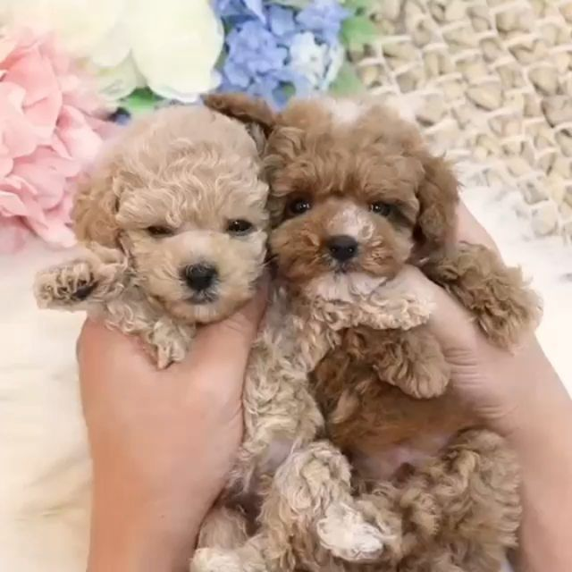 Baby Puppies On Instagram Adorable Bear Face Poodle Boys Raul
