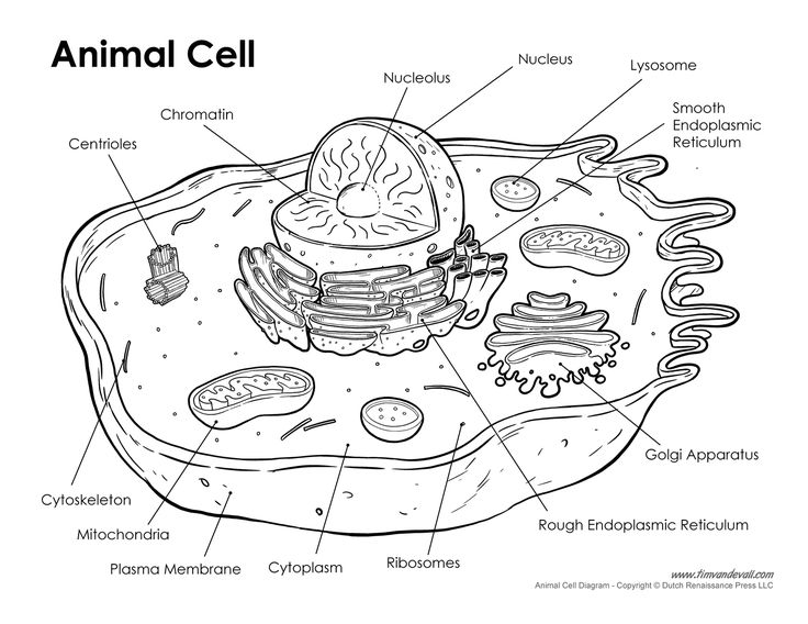 animal cell labeled