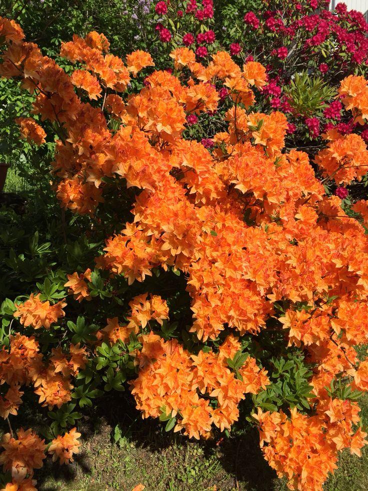 Azalia i full blomst.