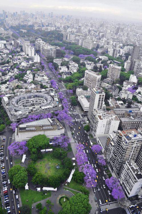Buenos Aires turns purple in November, Jacarandás
