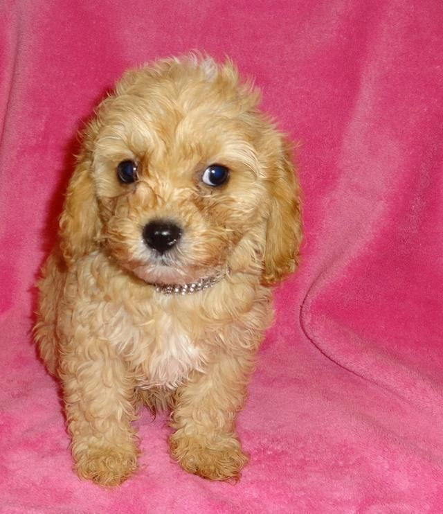 Cockapoo Puppies For Sale Albuquerque Nm Cockapoo Puppies For Sale Cockapoo Puppies Puppies For Sale