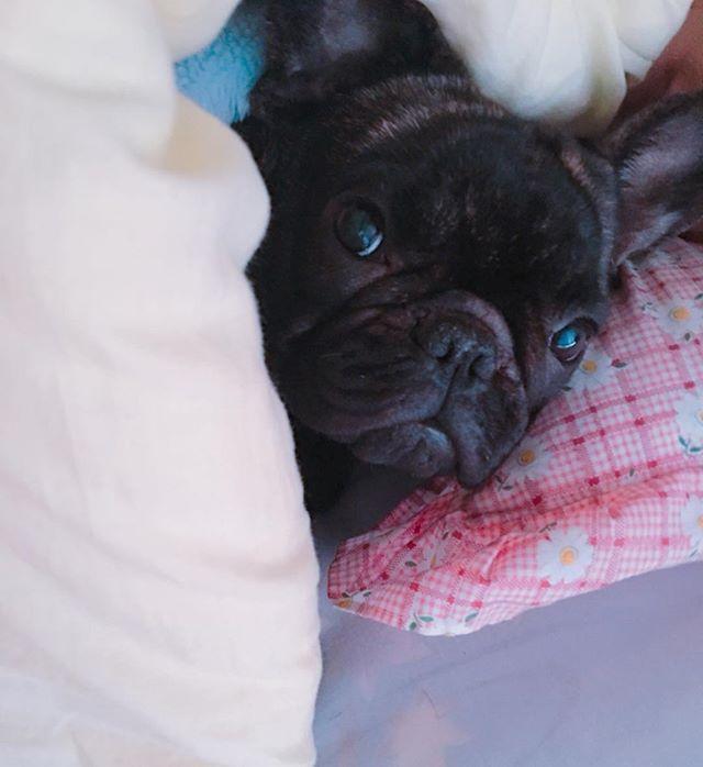 French Bulldog Puppy おはよ シャワー先に浴びる って言ってそうな 女の目をしちょる フレンチブルドック フレンチブルドッグ フレブル フレブル部 愛犬 犬 名前はマリリン 女の子 メス フレンチブルドッグ 犬 フレンチ