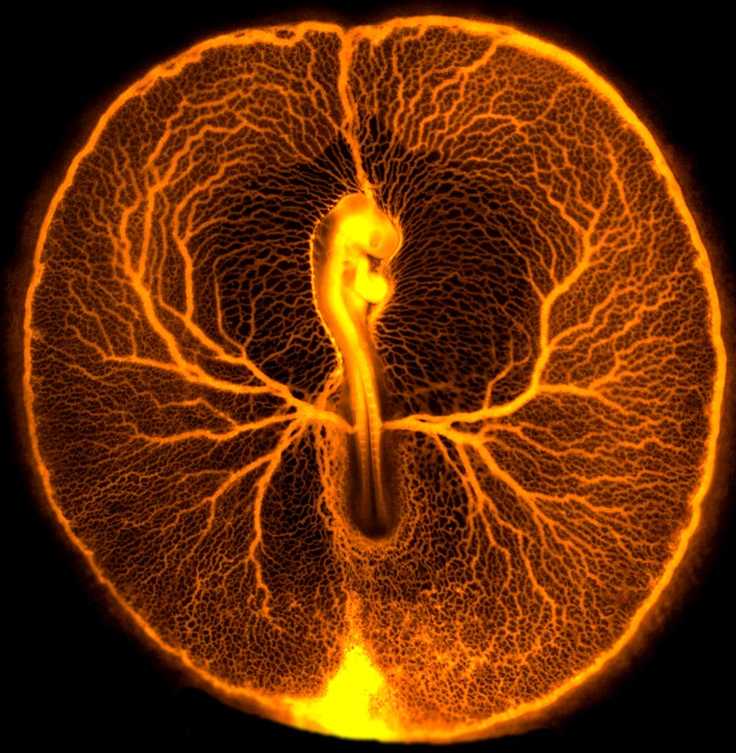 Chicken embryo vascular system  Vincent Pasque / University of Cambridge  This fluorescence micrograph shows the vascular system of a developing chicken embryo (Gallus gallus), two days after fertilisation. Injecting fluorescent dextran revealed the entire vasculature used by the embryo to feed itself from the rich underlying yolk inside the egg. At this stage of development, the embryo and its surrounding vasculature are a little smaller than a 5p coin.
