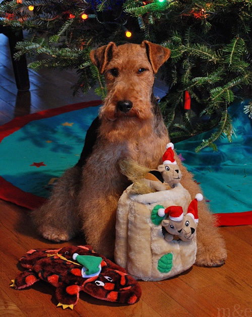 miles and emma: Miles Opens His Christmas Presents Welsh Terrier Holiday Dogs Puppy Puppies Xmas Card Pup