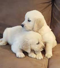 Image result for golden retriever puppy #GoldenRetriever