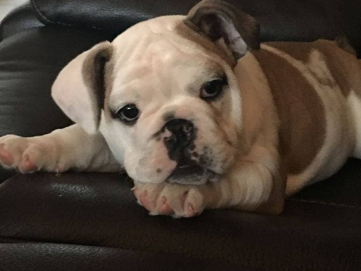 2 month old English Bulldog Bella