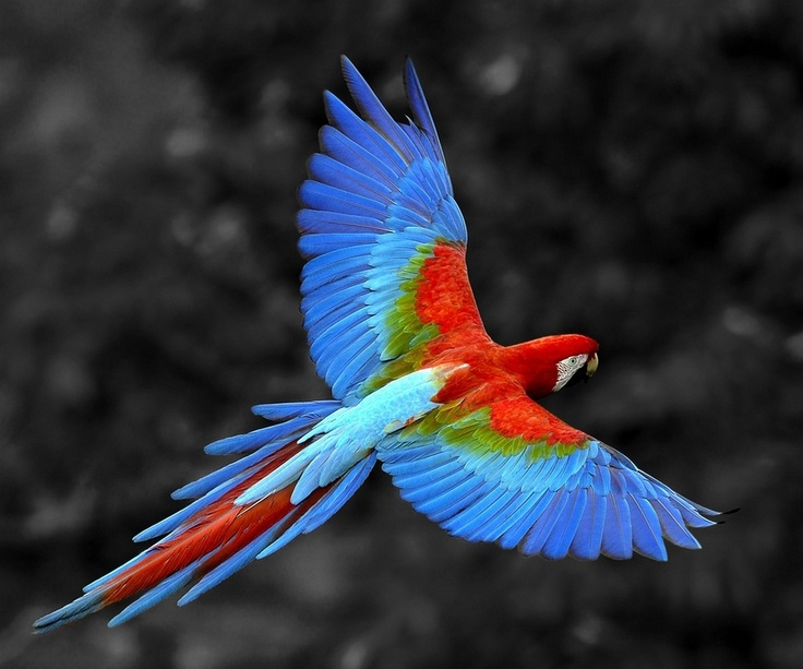Greenwing Macaw.  However, I think it should be a blue wing macaw ; }