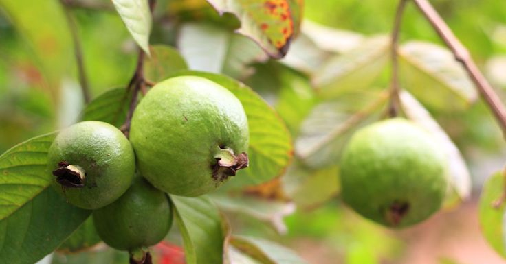 """Guavas are plants in the Myrtle family (Myrtaceae) genus Psidium. The term """"guava"""" appears to derive from the Arawak (indigenous peoples of the Caribbean) guayabo """"guava tree"""", via the"""