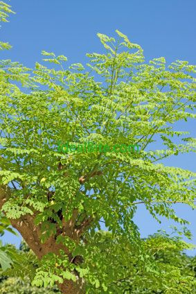 Do Not Try Moringa Oleifera Until You Read the Facts About It - IdealBite