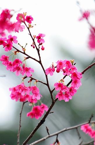 Cherry blossom, Macau, China