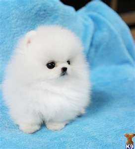 Teacup Pom puppy - I never thought I'd be one of those women with a tiny dog in hand but I could take this little guy. He's so cute!  Pinned by Angel