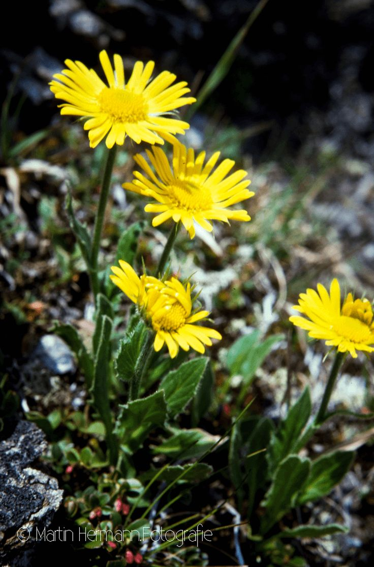 Großblütige-Gemswurz-Doronicum-grandiflorum-(Pischa-Davos-1986)