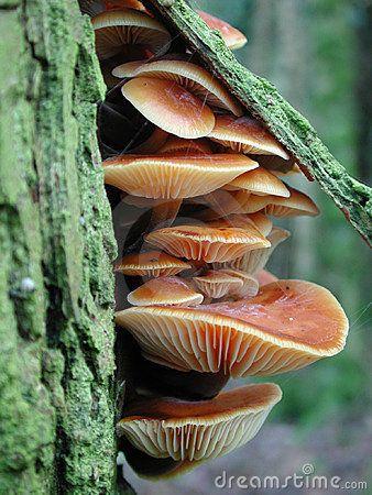 Faerie Garden. (Flammulina velutipes ~Velvet Foot...the brown velvety stems tell you what these are)