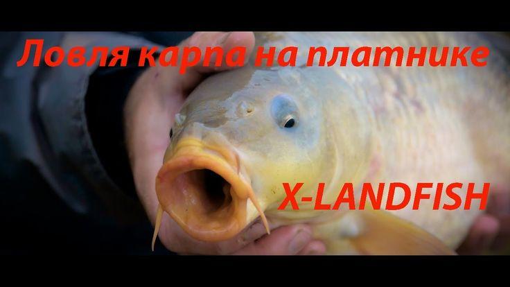 Ловля карпа на платном водоёме осенью. X-LAND FISH.